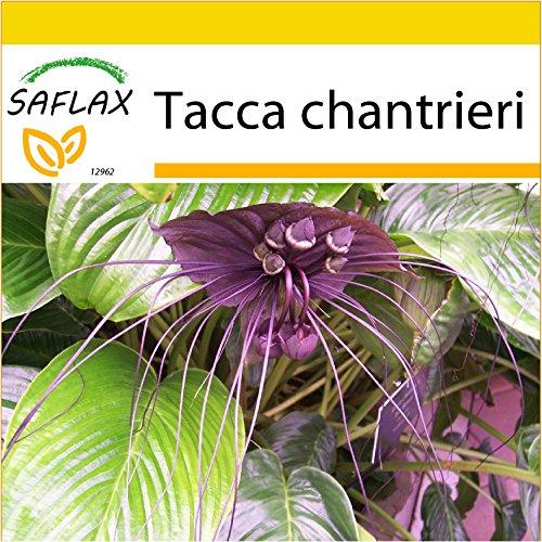 SAFLAX - Anzucht Set - Fledermausblume - 10 Samen - Mit Mini-Gewächshaus, Anzuchtsubstrat und 2 Töpfen - Tacca chantrieri
