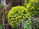 1 Gallon Pot Berckmans Golden Arborvitae Tree Plant