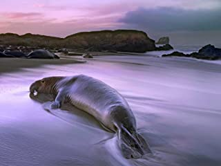 Northern Elephant Seal bull laying at surfs edge Point Piedras Blancas California Poster Print by Tim Fitzharris (18 x 24)