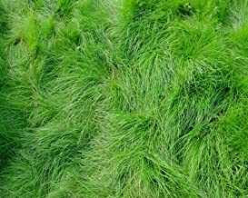 Creeping Red Fescue Lawn Grass - 5 Pounds