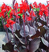 Best red canna bulbs Reviews