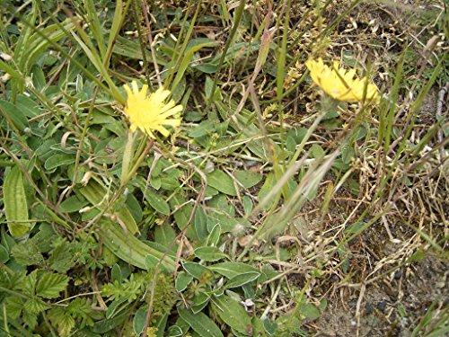 Asklepios-seeds® - kleines Habichtskraut, Pilosella officinarum, 100 Samen