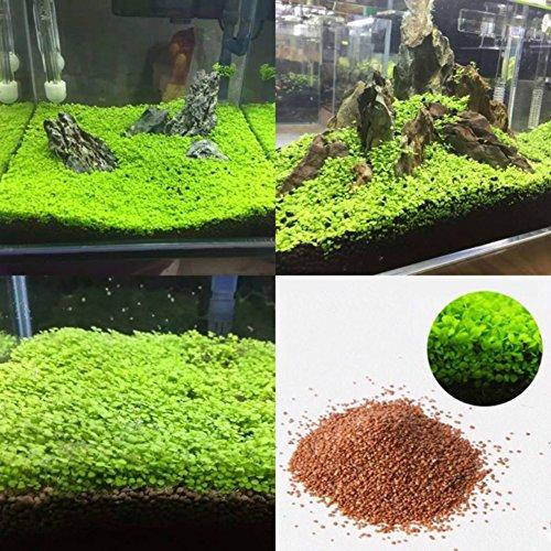 Lamta1k Aquarium Aquarium Pflanzensamen Qualit?t und hohe ¨¹berlebensraten Wasser Wasser Gras Dekor Garten Vordergrund Pflanze - S
