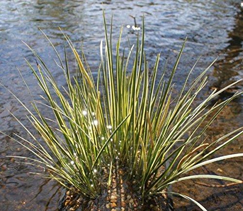 fertig im Pflanzkorb - Acorus gramineus - winterhart - Zwergkalmus - Graskalmus - Wasserpflanzen Wolff