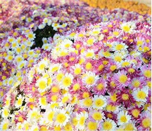 100pcs/sac Tapissant graines de chrysanthèmes, plante en pot graines de fleurs vivaces bonsaïs chrysanthèmes marguerite pour le jardin à la maison jaune