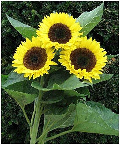 Lot de 10 de graines Soleil à fleurs simples Prado Gold - 120 cm - tournesol annuel