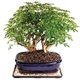 "Brussel's Live Dwarf Hawaiian Umbrella Indoor Bonsai Tree - 9 Years Old; 12"" to 16"" Tall with Decorative Container, Humidity Tray & Deco Rock"