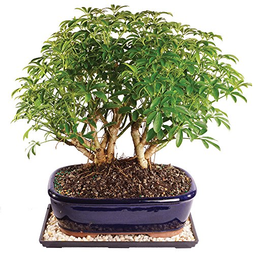 Brussel's Live Dwarf Hawaiian Umbrella Indoor Bonsai Tree - 9 Years Old; 12' to 16' Tall with Decorative Container, Humidity Tray & Deco Rock