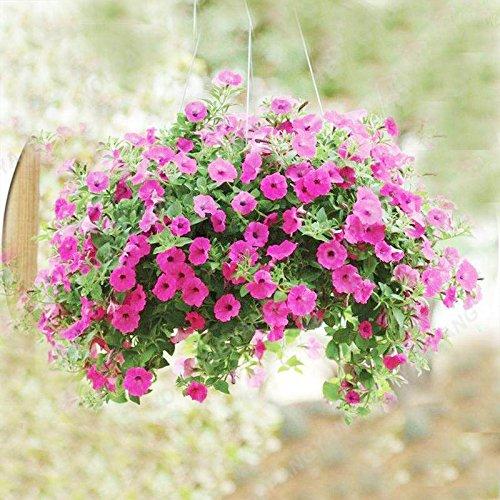 200PCS couleurs mélangées Petunia Graines de fleurs Graines Fleurs vivaces pour jardin Bonsai Pot Plantation Belle Décoration Violet