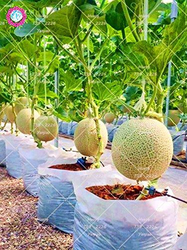 100PCS Bonsai Cantaloupe Samen Gesundheit Bio-Fruchtsamen Cantaloupemelonen Süße Honigmelonen sät DIY Hausgarten Pflanze