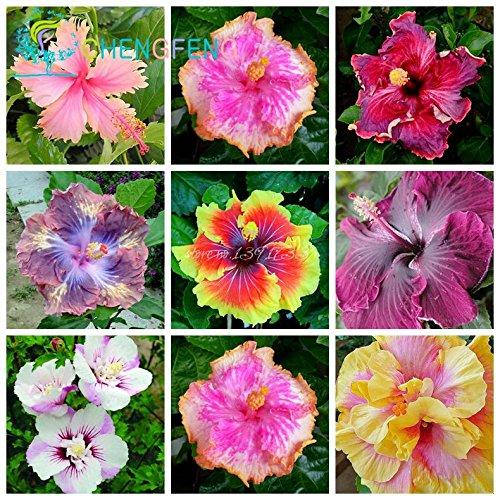 Sur 200pcs graines Hibiscus 24kinds HIBISCUS ROSA-sinensis fleur graines graines d'arbres hibiscus pour les plantes en pot de fleurs violettes