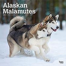 Alaskan Malamutes 2020 12 x 12 Inch Monthly Square Wall Calendar, Animals Dog Breeds