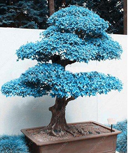 50 Pcs rares Blue Seeds Maple Bonsaï Plantes Costume Pot pour Diy jardin japonais Maple Graines Plantes Balcon Livraison gratuite