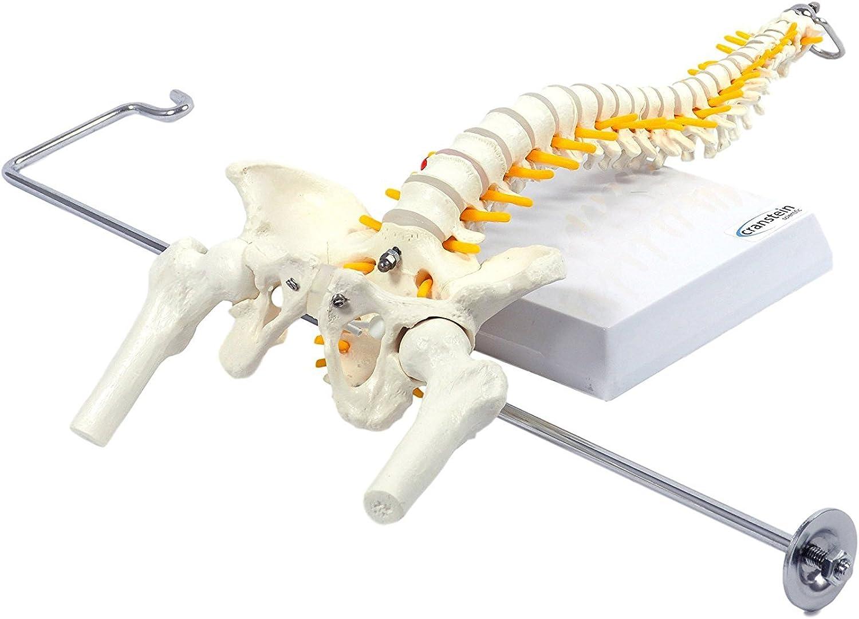 Spine Model with Pelvis, Femur Heads, 1 2 Life Size, 40cm (16 ) Flexible