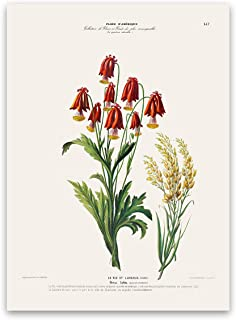 Red Columbine Flower Plant Print - Flore D'Amerique Old Botanical Illustration Poster
