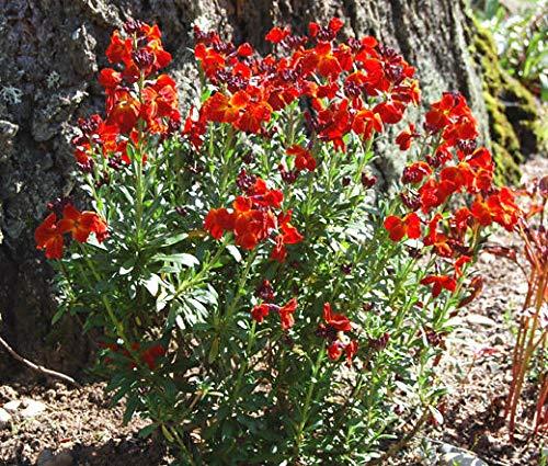 HANO WallFlower English Chethus Cheiri - 500 Seeds