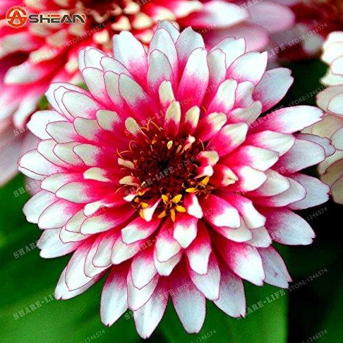 100PCS Zinnia Graines rares Variété chaleur Tolerant Jardin Fleur Plantes à fleurs en pot Charme chinois Fleurs Graines Facile croissance 11