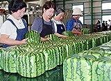 13 Tipos gigante sandía semilla (por su chioce), 30 semillas / paquete, legumbres Muy dulce, jugosa fruta melón de agua anuales gris claro