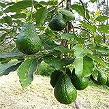 bloom green co. saldi ! 5 pz bonsai avocado delicious dolce albero da frutto facile da coltivare per la verdura giardino della casa biologica in vaso della pianta del regalo per i bambini: g