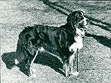 Real Animal Dogs Bernese Mountain Dog - Vintage Press Photo