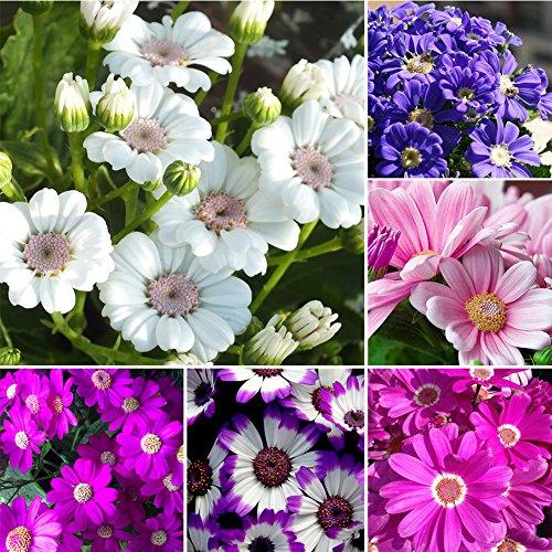 KimcHisxXv Cineraria Samen, 50 Teile/paket Mischfarbe Cineraria Samen Topfpflanzen Hausgarten Blumensamen - Mischfarbe
