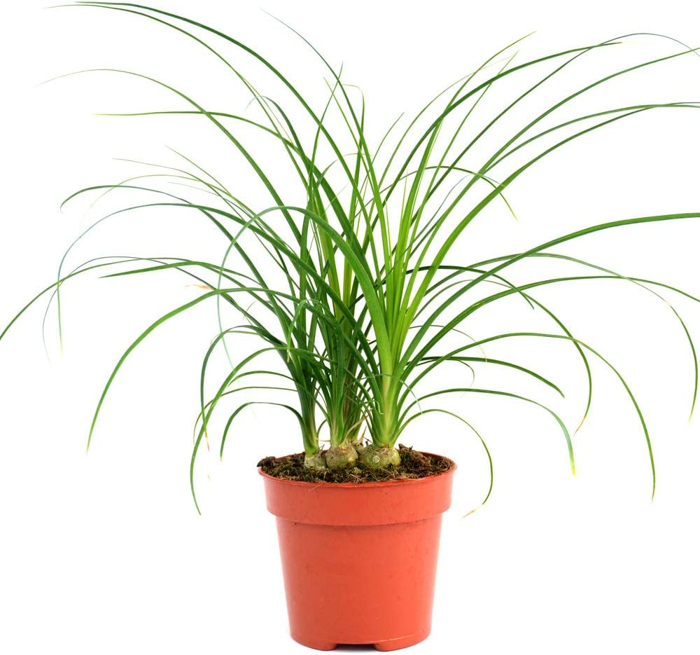 Curved Sword-Like Leaves Impressive Display 1 Elephant/'s Foot Plant Ponytail Palm Evergreen Perennial Indoor House Plant 1 x 12cm Pots Beaucarnea Recurvata by Thompson and Morgan