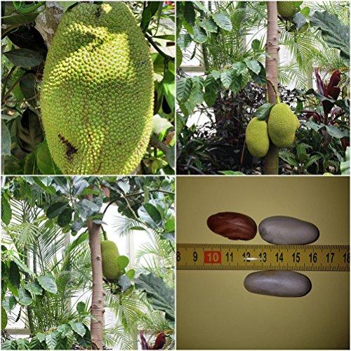 Guanabana Annona Muricata Riesige Obst 6 Saatgut Seeds