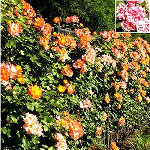 100/Graines Mix Pack plante grimpante Polyantha Graines Rose jardin Diy Cour Pot de fleurs semences Magnifiques Graines Bonsai