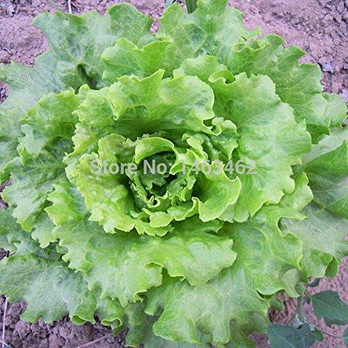 150 pcs/sac Graines de laitue, famille Vert Santé Bio chinois Graines de légumes