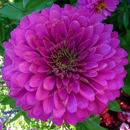 100PCS Zinnia Graines rares Variété chaleur Tolerant Jardin Fleur Plantes à fleurs en pot Charme chinois Fleurs Graines culture facile 3