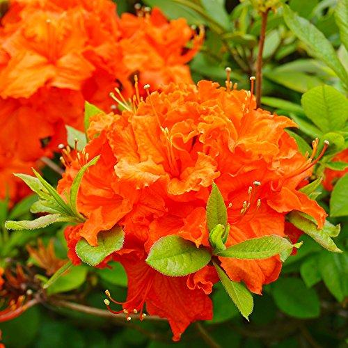 Hardy Evergreen Compact Dwarf Azalea Shrubs for The Garden, Patios, Beds & Borders Provide Spectacular Colour 1 x Orange Azalea in 9cm Pot by Thompson & Morgan