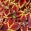 Semi di Coleus Rainbow - Coleus hybridus - 15 semi #3