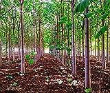 Extra Clean - 100 semillas híbridas de paulownia Shan Tong, árbol Kiri, pino chino, árbol de campanillas, árbol azul floreciente, cosecha de diciembre de 2019