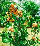BALDUR-Garten Säulen-Aprikose'Armi Col®',1 Pflanze Aprikosenbaum Prunus armeniaca winterhart