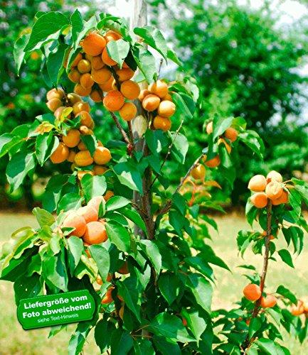 BALDUR Garten Säulen-Aprikose Armi Col®,1 Pflanze Aprikosenbaum Prunus armeniaca winterhart