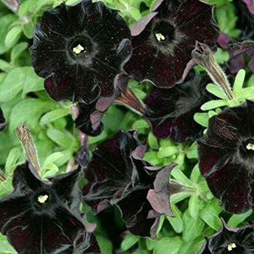 LIANA IRWIN 100 Petunie Samen Schwarz für Balkon, Garten,Blumenränder, Blumenwände, Hecken oder Hintergrundanbau