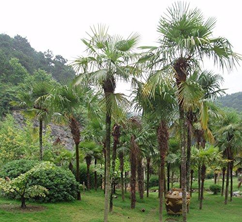 Trachycarpus takil, hardy palm from India, 5 graines