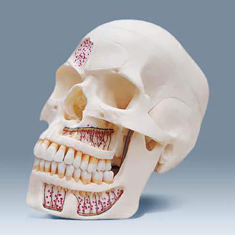 New item ZLF Human Medical Manufacturer regenerated product Simulation Skull Medica Model for Bone