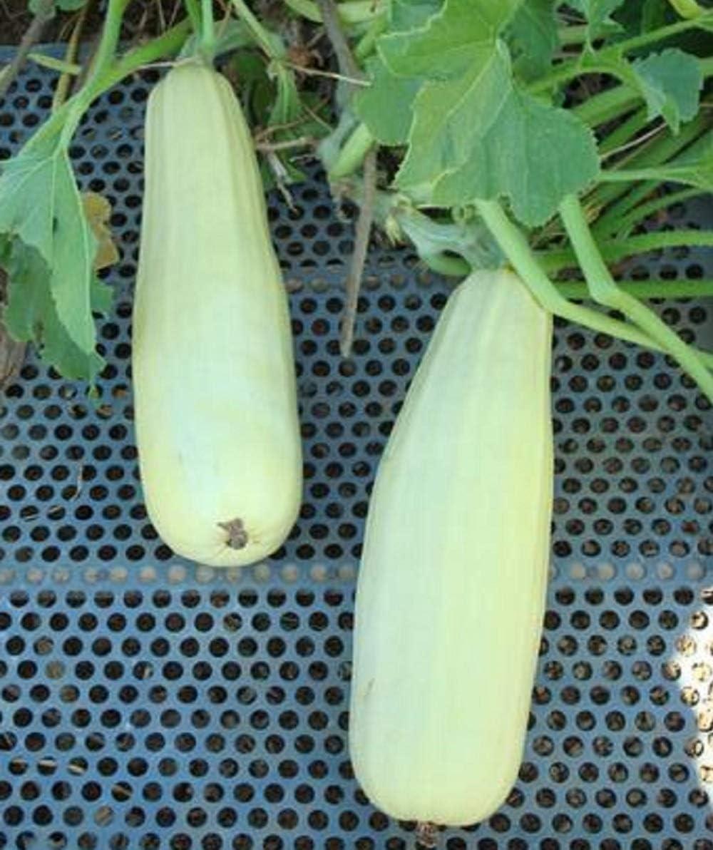 David's Garden Seeds Squash Max Cash special price 88% OFF Summer 25 Blanco Lungo White 1616