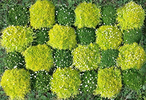 24er Sternmoosset mit 12 Pflanzen grün & 12 Pflanzen hellgrün (Sagina subulata)