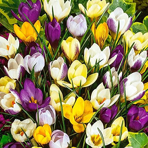 50x Crocus chrysanthus | 50er Mix Balkan...