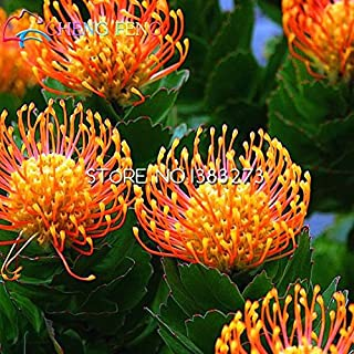 30 Pcs A Bag Protea Seeds Diy Potted Plants Flower Indoor / Outdoor Bonsai Gift Seed Germination Rate Of 95% Mixed Colors Seed