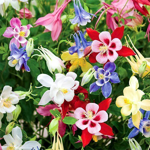 200+ Columbine McKana Giants Flower Seeds, Perennial, Aquilegia caerulea, Colorful, Attracts Bees and Hummingbirds! from USA