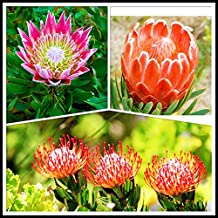 Fresh Rare Protea Cynaroides Seeds South Africa National flower Easy Planting Rare bonsai flower seed 3 pcs mix