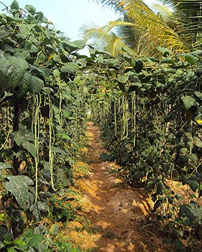 100 Top Pick Rose Vache Pea Southern Crowder Vigna Unguiculata Graines de légumes