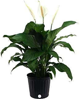 Costa Farms Peace Lily, Spathiphyllum, Live Indoor Plant, 3-Feet Tall, White Bloom, Fresh From Our Farm, Excellent Gift