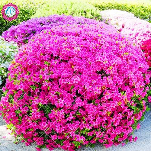 RETS 100pcs Sims Azalea Rhododendron simsii Bonsai-Baum Blume immergrüner Strauch Pflanzen Index Garten: Mix