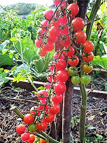 Graines Rouge Tomate Zhabo F1 - grenouille ukrainienne Sélection variété hybride