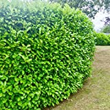 50 x Cherry Laurel Evergreen Hedging 25-40cm Potted Not Bareroot by Sunnyside Nurseries