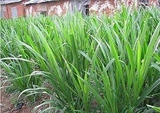 Asklepios-seeds - 250 Samen Pennisetum purpureum, Elefantengras, Napiergras, Ugandagras bis zu 6m hoch
